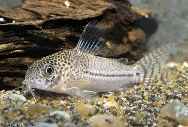 Corydoras julii Fish/aquariums Pinterest