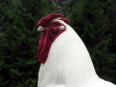 Schweizer chicken - Wikipedia, the free encyclopedia