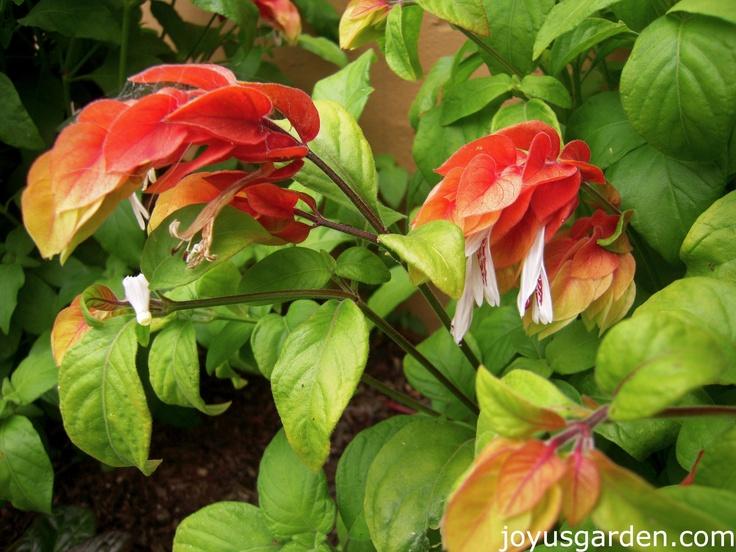 Shrimp Plant Flower for Pinterest