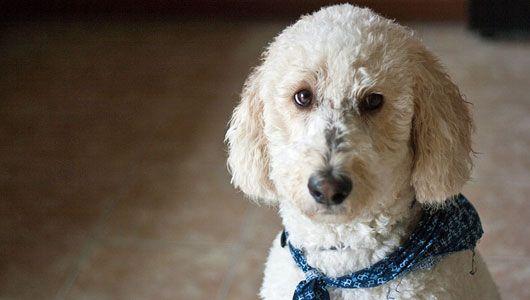 Designer dogs 8 popular pups