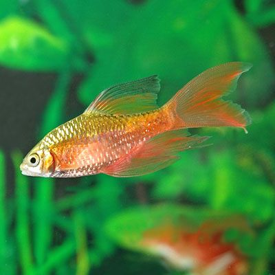 long finned rosy barb Fish are friends Pinterest