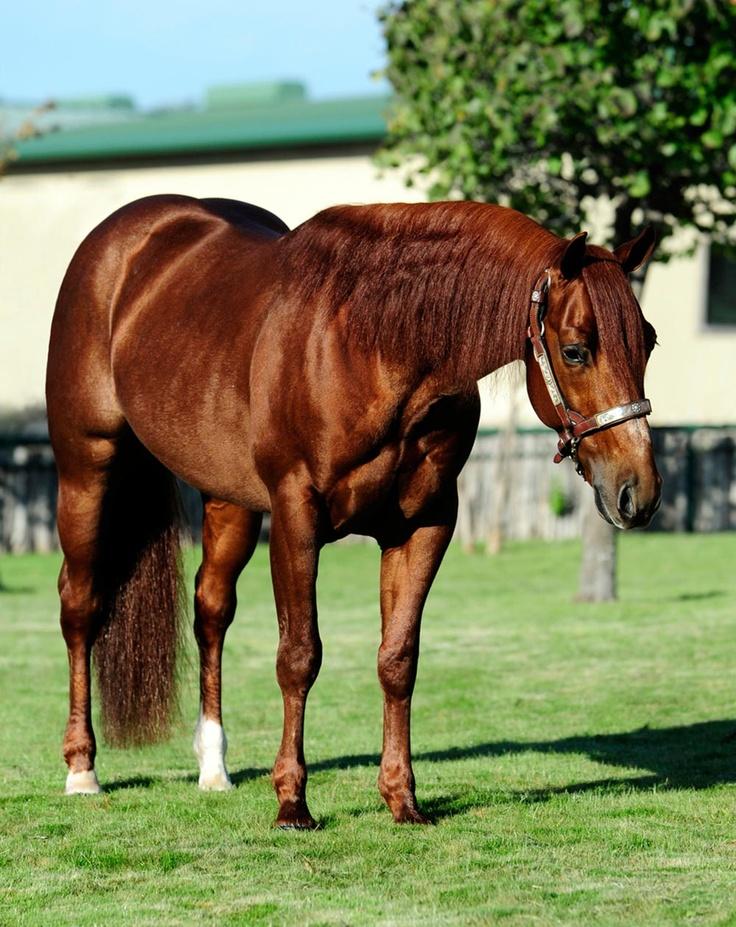 Kit Kat Sugar, NCHA Open Horse of the Year – Shadow Oak Ranch :: Jeremy & Candace Barwick