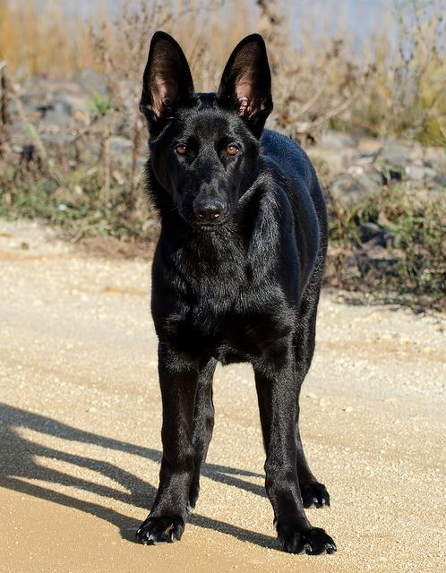 Layla 5 month old black German Shep
