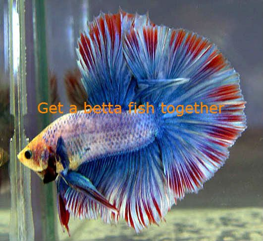 Pin by buddy ellis on pinned fish pictures pinterest for Baby betta fish