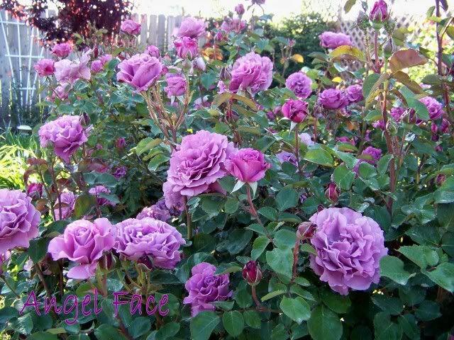 Mardi Gras Rose Bush