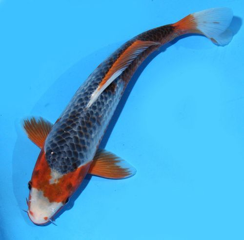 Live koi pond fish 11 blue asagi koibay for What kind of fish live in ponds