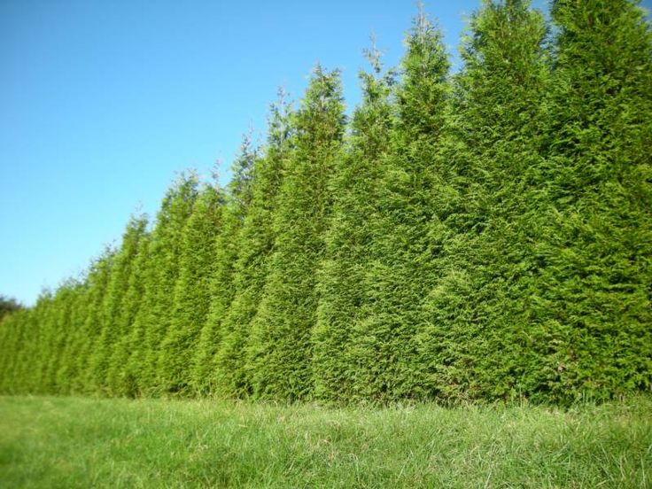 Arborvitae Green Giant Privacy Fence Ideas For Outside: green giant arborvitae