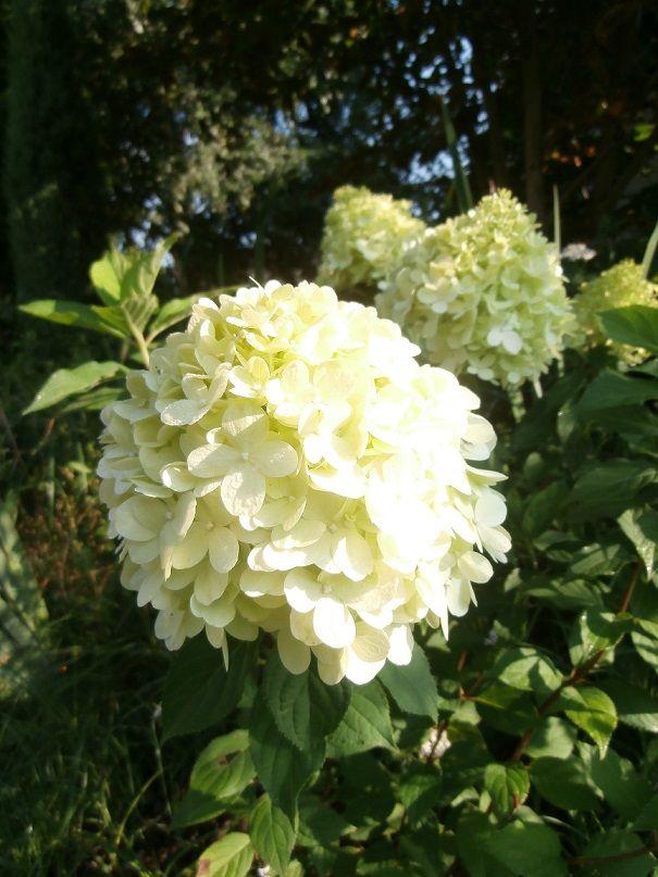 Hydrangea Limelight : Hydrangeas, my favorite (hortensia) : Pinterest