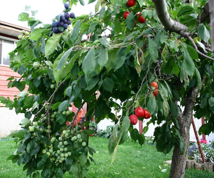 Pin by hardly alice on farm orchard pinterest - Graft plum tree tips ...