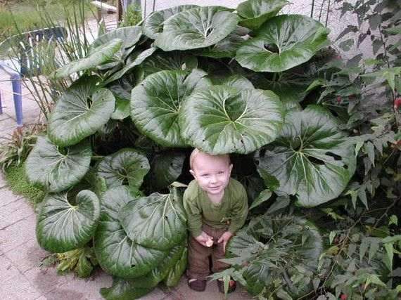How Tractor Seat Plant Growing : Giganteum tractor seat i have to this plant back