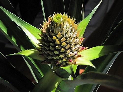 Grow Your Own Pineapple Plant At Home My Kids Are Going