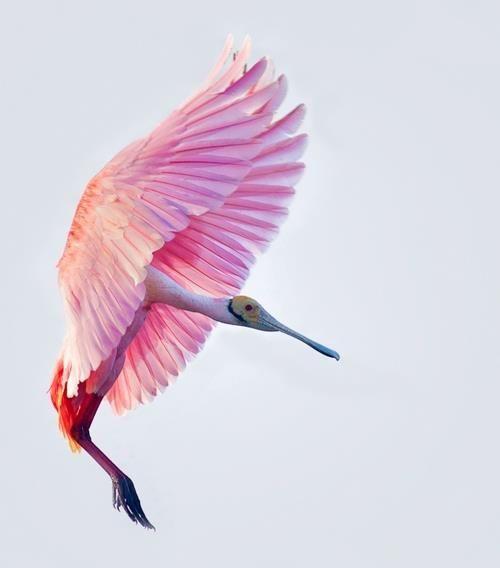 pink flamingo 1 birds - photo #38