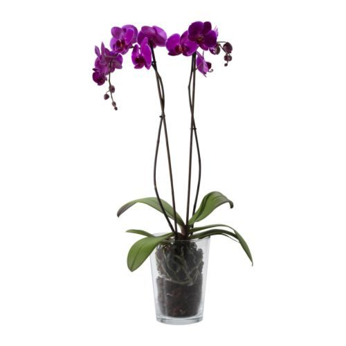 phalaenopsis potted plant orchid 2 stems. Black Bedroom Furniture Sets. Home Design Ideas