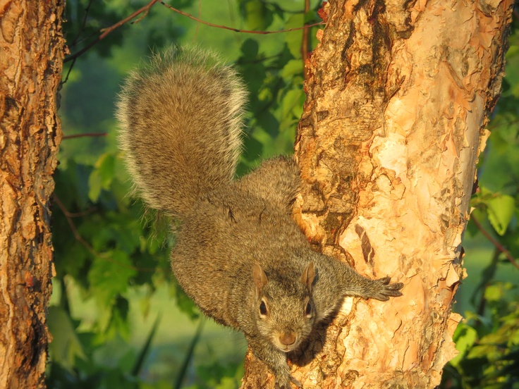 chasing a nut