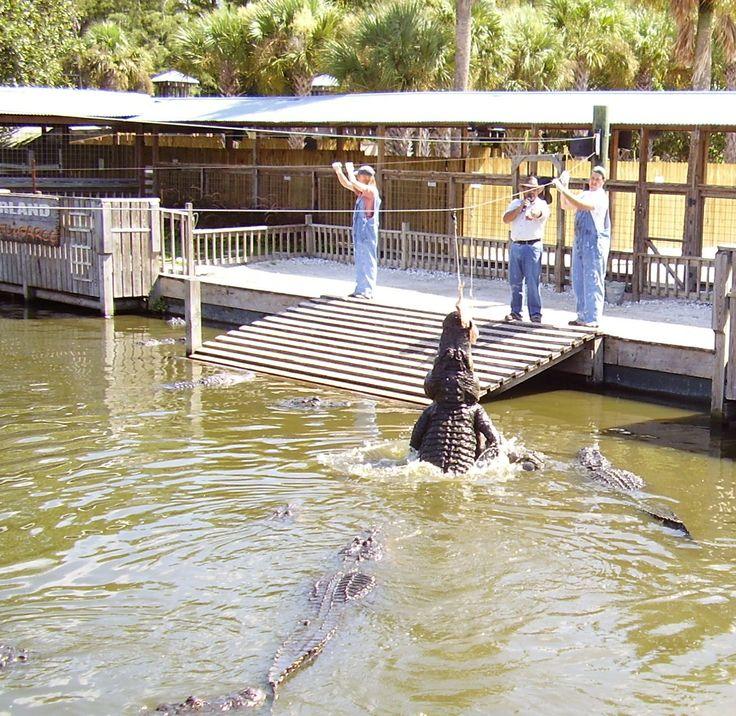 Florida Gators Gatorland