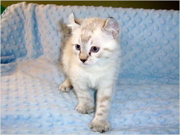 Highland lynx kitten - photo#26