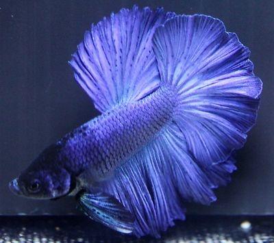 Pin by terri emerson on bettas pinterest for Ebay betta fish
