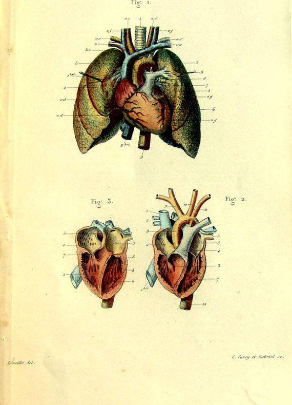 Human heart anatomy vintage - photo#13