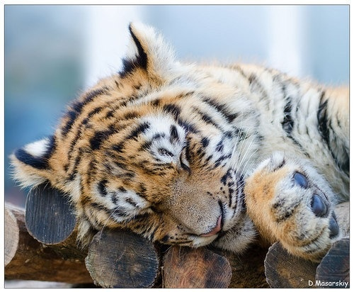 The gallery for --> Cutest Baby Tiger In The World