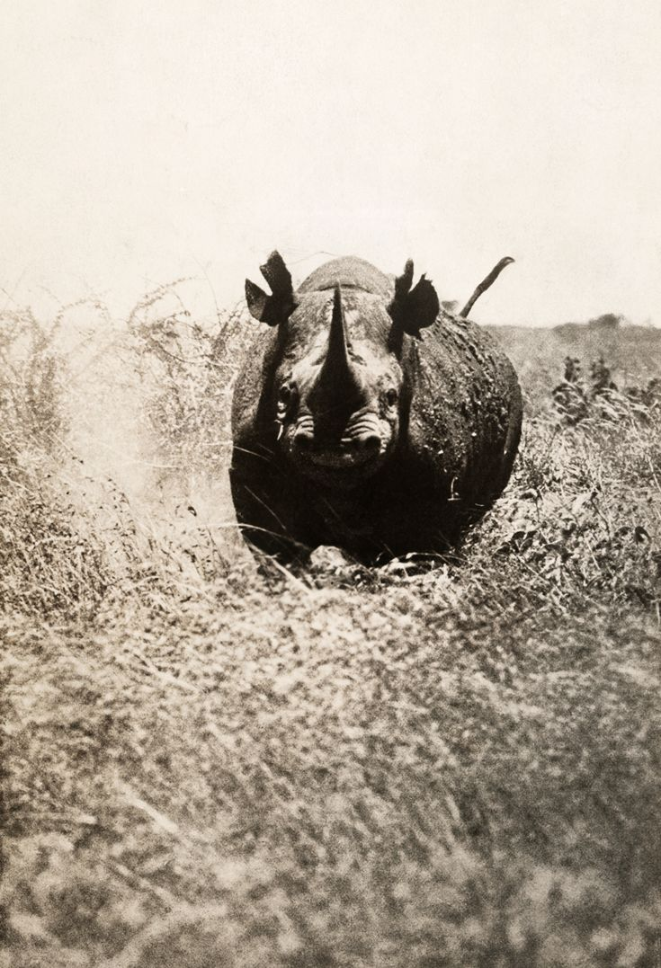 A rhinoceros charges the photographer in Africa ~  photograph by A. Dugmore, May 1910. National Geographic