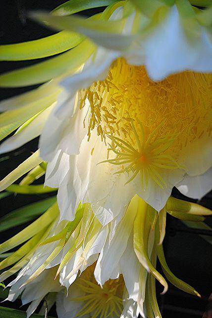 Nightblooming Cereus flores brilham na luz da manhã cedo!