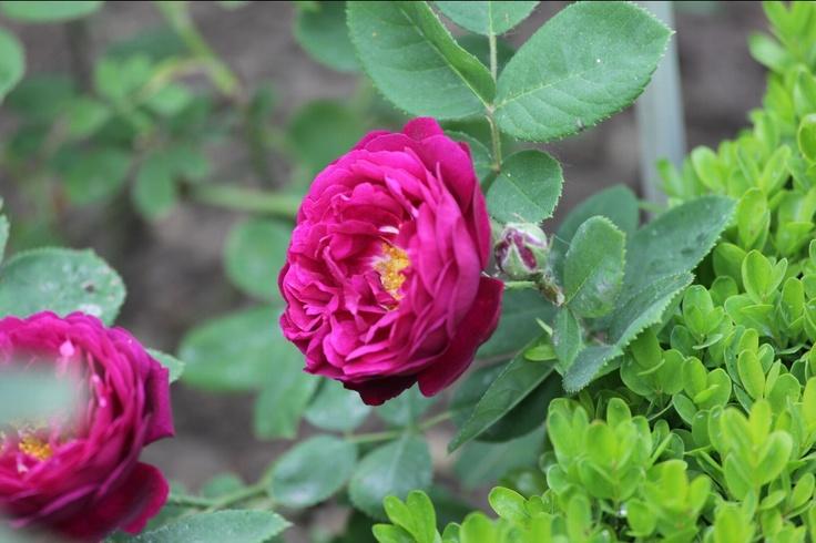 gipsy rose