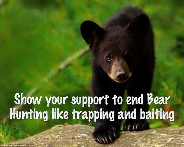 """Maine has some of the best habitat in the country for black bears. But these intelligent, wild creatures are extremely shy and are rarely seen. So rather than respect nature, vicious sport hunters resort to killing bears with dogs, cruel traps, and piles of food to lure them from safety.""""Maine's Bear Hunt Ban"""" initiative will eliminate the most egregious forms of bear baiting and trapping, paving the way for us to push for an outright ban on bear hunting later."""