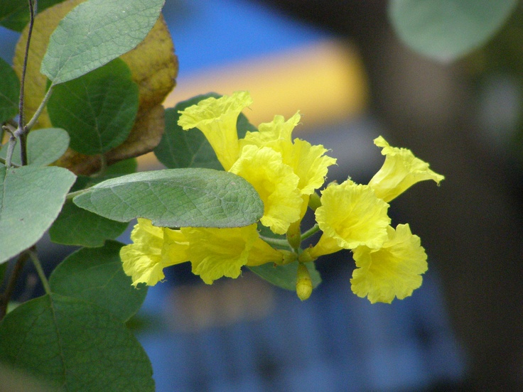 British Virgin Islands National Flower