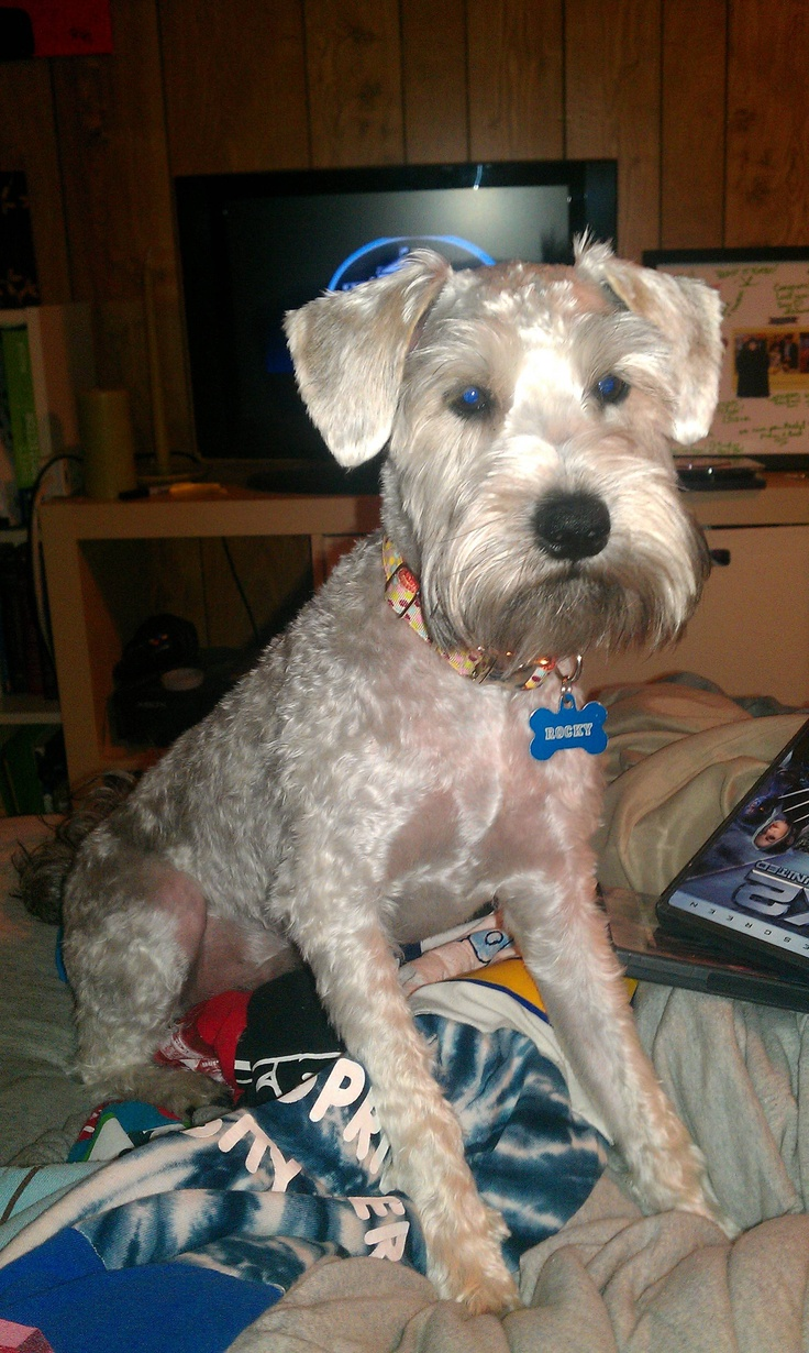 Haircut for Schnoodle. This is what Rex looked like after his last ...