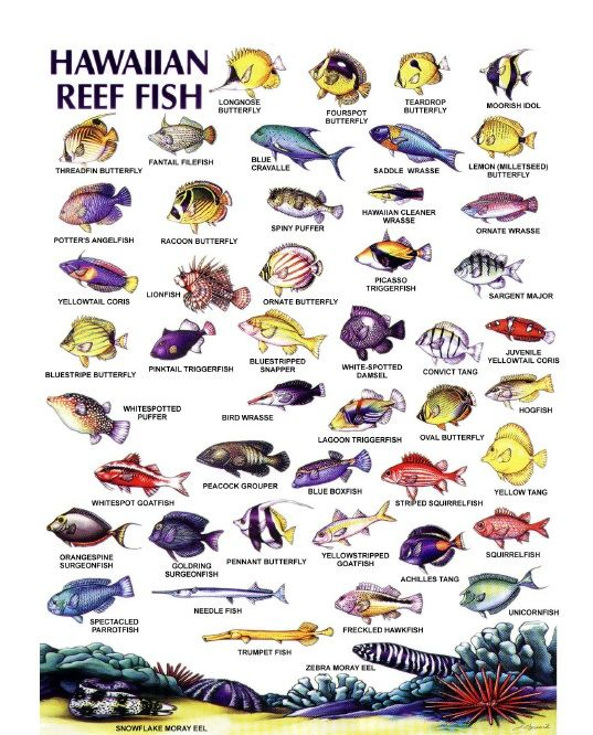 Hawaiian Reef Fish Charts Posters Pinterest