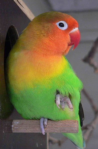 lovebirds parrots pinterest