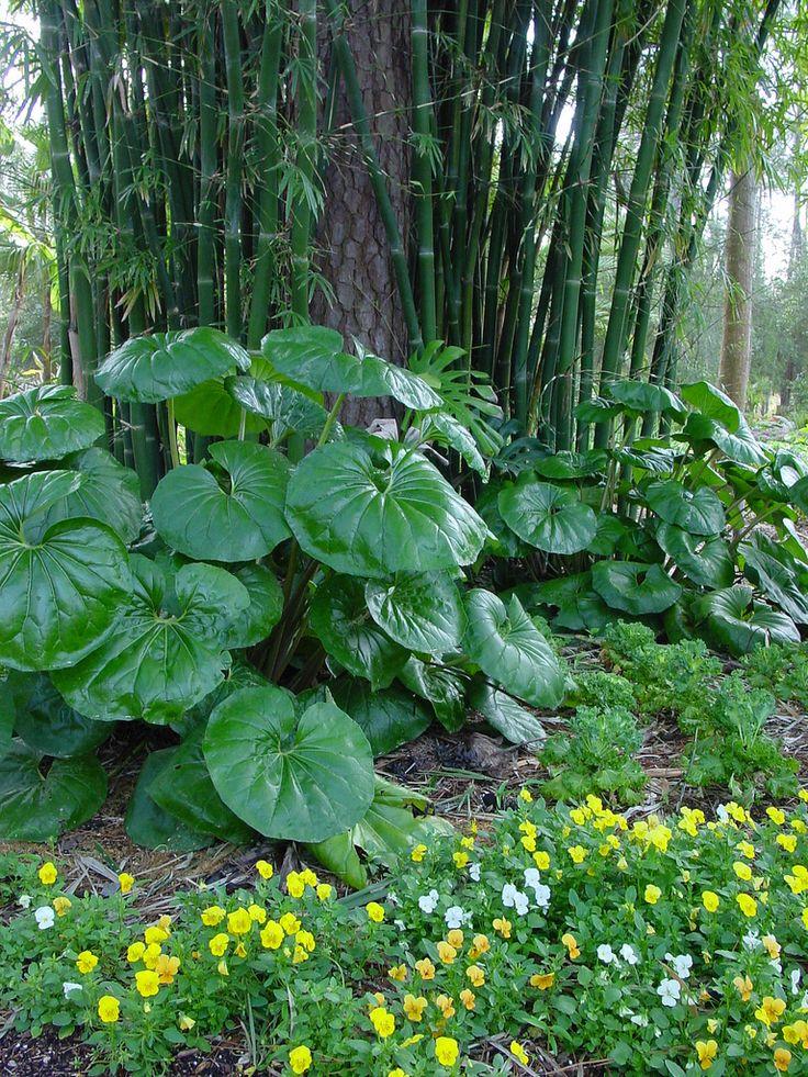 Farfugium Japonicum Giganteum : Farfugium japonicum giganteum our favorite flowers
