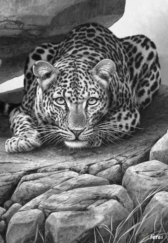 Leopard drawings in pencil