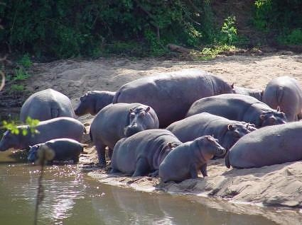 Hippos. Kruger  National Park, Crooks Corner Phafuri,  South Africa by www.stormc.co.za