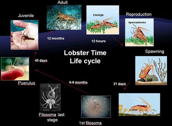Lobster Time Life Cycle | FLORIDA MARINE & WILDLIFE PRESERVES | Pinte ...
