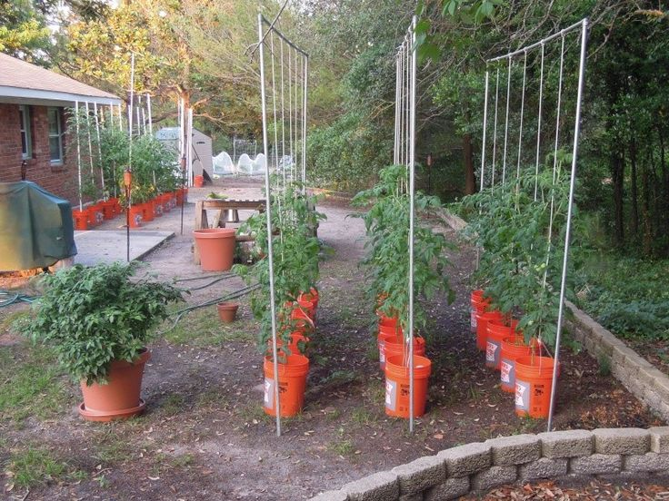 Tomato trellis garden digs pinterest for Gardening 5 gallon bucket