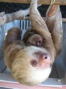 baby sloth yawning | Baby sloths | Pinterest