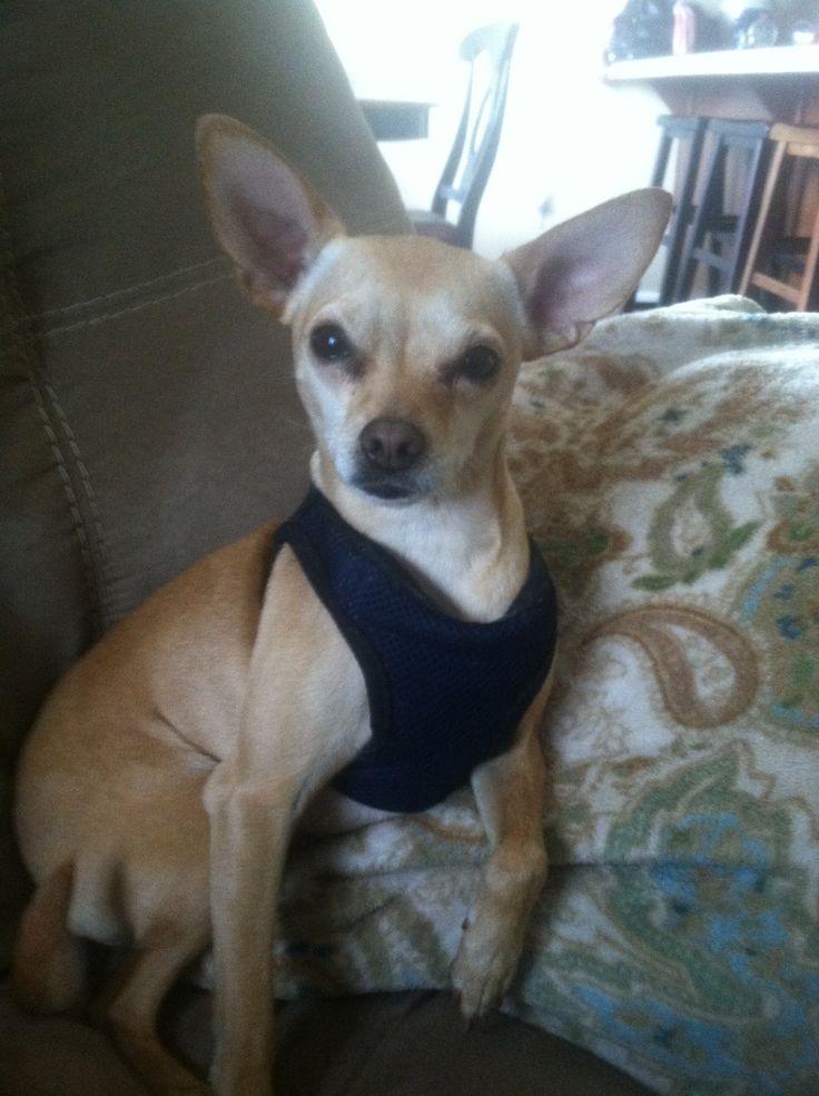 My puppy. Mammacieta | Chihuahua Min-Pin Mix | Pinterest
