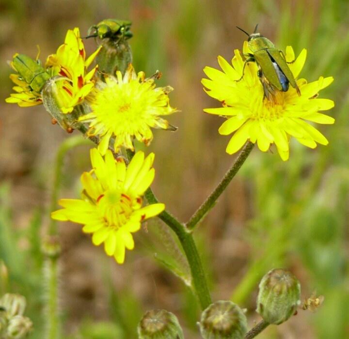 Escarabajos verdes | Insectos_otros | Pinterest