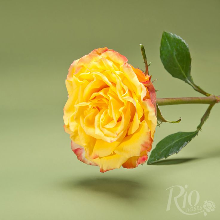 magic magic roses