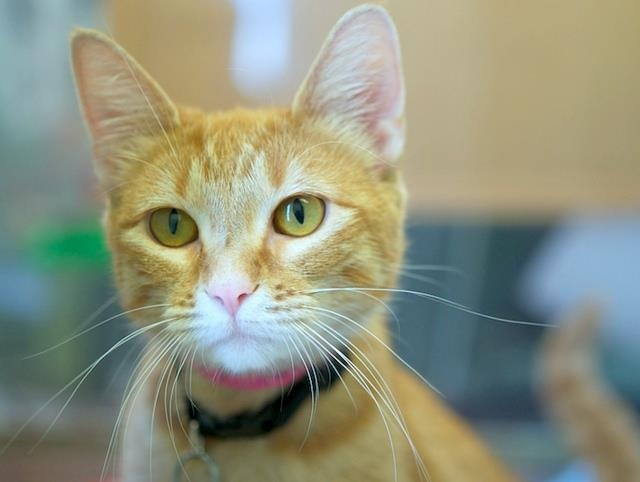 Adopt Kelda @ St. Paul, MN Humane society. young female, fully vetted, 6lbs. Available at 1115 Beulah Ln., St. Paul,MN