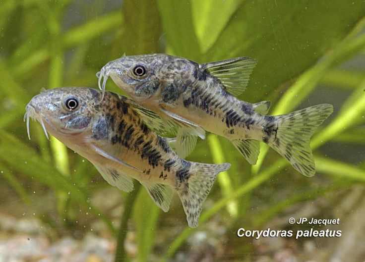 Couple of Corydoras paleatus Aquarium paradise Pinterest