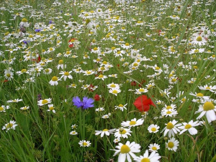 Annual and perennial wildflower meadow garden design for Wild flower garden designs