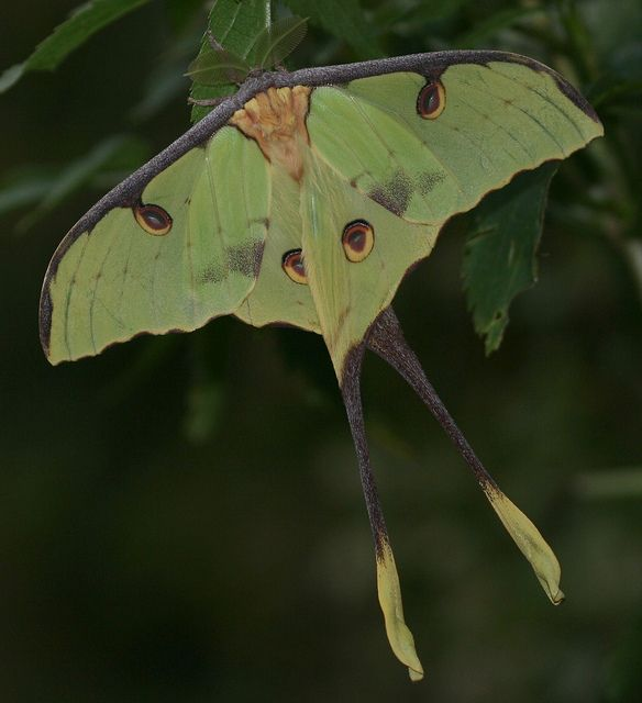 African Moon Moth (Argema mimosae) Winged Things Pinterest