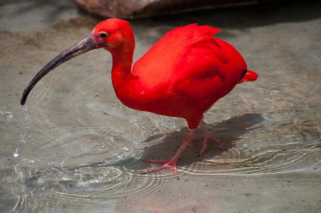 Annotation On the Scarlet Ibis