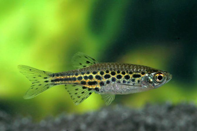 Spotted Danio Bettas and other Fish Pinterest