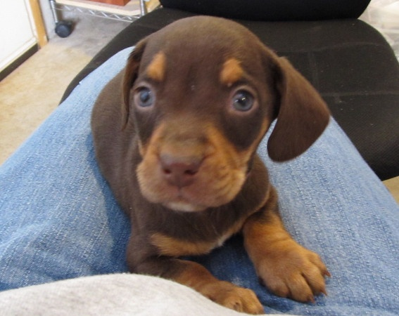 PawSafe Animal Rescue Billy - 6 week old beagle / chocolate lab mix