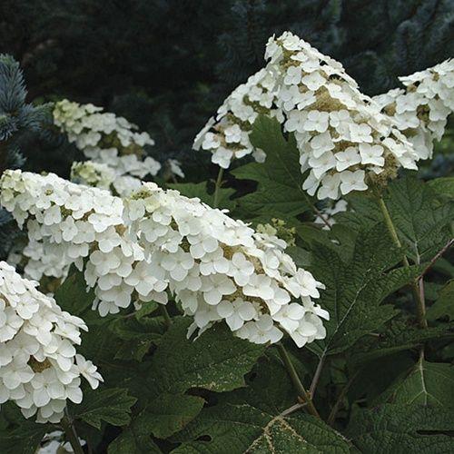Hydrangea querc... Oakleaf Hydrangea Snow Queen