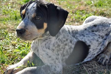This is today's daily puppy, a beagle/blue heeler mix. I'm in love!