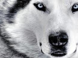 Siberian Husky <3